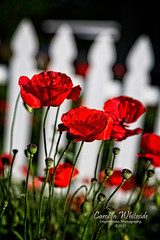Red Poppies by Picket Fence