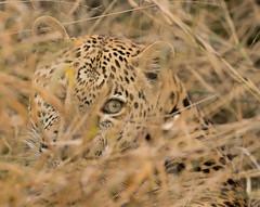 Safari-49 (Davey6585) Tags: travel traveling world southafrica africa safari tydonafricansafaris tydonsafaris tydon sabisands sabisandsprivategamereserve sabisandsgamereserve pantherapardus leopard africanleopard cat bigcat bigfive big5 animal animals wildlife wildanimals