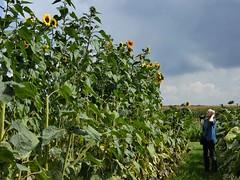 So high ..... how do I get there? (libra1054) Tags: sunflowers girasoli girasoles tournesols sonnenblumen girassóis feld campo field champ outdoor