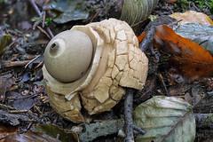 Halskrausen-Erdstern (Geastrum triplex) im Buchenwald (AchimOWL) Tags: pilz makro macro outdoor dmcgh5 gh5 natur nature lumix panasonic ngc macrodreams schärfentiefe wildlife stack fauna mushroom wald erdsternartige geastrales erdstern geastrum