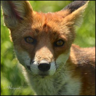 13.08.17 Foxy..Taken through wire