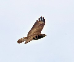 Common buzzard (Bakuman3188) Tags: bussard buteo 鵟屬 våker настоящиеканюки ノスリ属 busardos hiirihaukat mäusebussard commonbuzzard