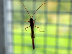 Heteropelma amictum (Fred's Uncle) Tags: ichneumon hcpnr insect