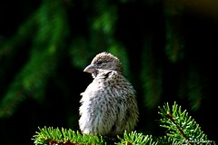 Fluffy Young House Finch (Anne Ahearne) Tags: bird birds finch wild animal nature wildlife spruce tree