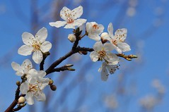 Sunshine and blue skies (holly hop) Tags: flowers blossom bluesky white australia centralvictoria spring crabapple plant tree bud