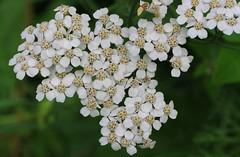 Yarrow - Achillea millefolium - Zillertal Austria - July17 (2) (ailognom2005) Tags: yarrow achilleamillefolium zillertalaustria zillertal austria flora florafauna flowers