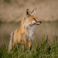 Red Fox - Adult Female (Turk Images) Tags: aspenparkland foxden northernplainsredfox vulpesfulva alberta canidae mammals redwater spring