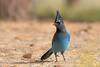 Stellar's Jay (Amy Hudechek Photography) Tags: jay blue rocky mountain national park wildlife nature amyhudechek nikond500 nikon200500mmf56 stellars