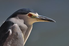 Bihoreau gris - Nycticorax nycticorax - Black-crowned night heron (pablo 2011) Tags: collectionnerlevivantautrement ngc nikonflickraward nikonpassion nikond500 nikkor200500mm toulouse nature garonne lebazacle oiseau bird oiseauaquatique waterbird ardéidés ardea patrickblondel bihoreaugris nycticoraxnycticorax blackcrownednightheron