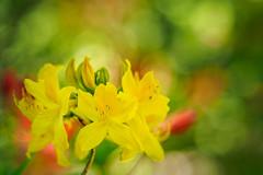 Rhododendron (1) (Karsten Gieselmann) Tags: 40150mmf28 em5markii europa gelb grün mzuiko microfourthirds natur olympus orange pflanzen rhododendron schweden sofiero strauch sträucher sweden trelleborg bush bushes green kgiesel m43 mft nature yellow