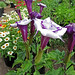 Angels Trumpet 'Blackcurrant Swirl' in front of 'Zahara' zinnias.