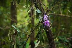 Gocha-la trek in Sikkim, India (David Ducoin) Tags: orchid asia dzongri flower gochala hike himalaya india kangchenjunga nationalpark nature plant sikkim stilllife trek violet gangtok in