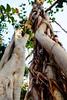 dsc01570 (space lama) Tags: moretonbayfig banyan tree roots