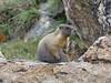 P1230717 (archaeologist_d) Tags: rockymountainnationalpark colorado estespark oldfallriverroad marmots