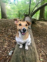 Cheese (KelJB) Tags: woods nature dogwalks walkies breed jackrussell jackrussellterrier terrier small beautiful bitch pretty happy smiling cute friend pet mammal animal canine doggy dog