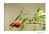 Mantes religieuse (Mantis religiosa) (www.olivierfarcyphotographie.com) Tags: mantereligieuse mantisreligiosa invertébré insecte photo bretagne