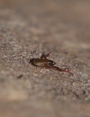 WHAT ? NO UBERS UP HERE ? P1030691 (Steve & Alison1) Tags: pseudoscorpion about 1 mm long bodied shiny false scorpion pseudoscorpionida chelicerata arachnida airlie beach rainforest