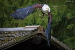 Schreiseeadler (ab-planepictures) Tags: adler vogel greifvogel tier schreisseadler seeadler animal eagle bird hellenthal wildpark
