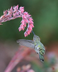 Hummer sipping echeveria blossoms (Victoria Morrow) Tags: