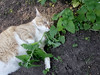 Ziggy Cat - Catnip Antics 6-1-17 25 (anothertom) Tags: cats ziggycat catnip catnipplant yard funnyface funnycat sonyrx100ii 2017