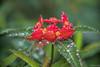 Wet Reds (fs999) Tags: 100iso fs999 fschneider aficionados zinzins pentaxist pentaxian pentax k1 pentaxk1 fullframe justpentax flickrlovers ashotadayorso topqualityimage topqualityimageonly artcafe pentaxart corel paintshop paintshoppro 2018ultimate paintshoppro2018ultimate masterphotos fleur flower blume bloem macrolife macro makro pentaxda200mmf28edsdm da200 dastar sdm 200mm jardin daltitude hautchitelet vosges alsace france