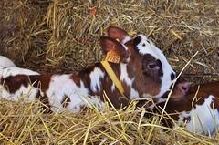 Bretagne 2017 (Isabelle Odent) Tags: bretagne illeetvilaine rennes cintré fête agricole agriculture comice vache veau terroir campagne