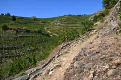 French vines (Jeanne Menjoulet) Tags: tainlhermitage vignes biodynamie chapoutier agriculture biodynamique biodynamic french vines france vin