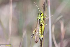 Large marsh grasshopper II (Dom Greves) Tags: august bog dorset hartlandmoor heathland insect invertebrate largemarshgrasshopper mire moorland orthoptera purbeck stethophymagrossum summer uk wildlife