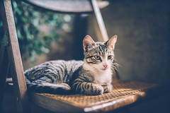 Siesta (der_peste) Tags: cat tuscan tuscany feline chair still animal pet katze kätzchen puppy eyes cute sonya7ii sonya7m2 sel35f14z 35mm f14