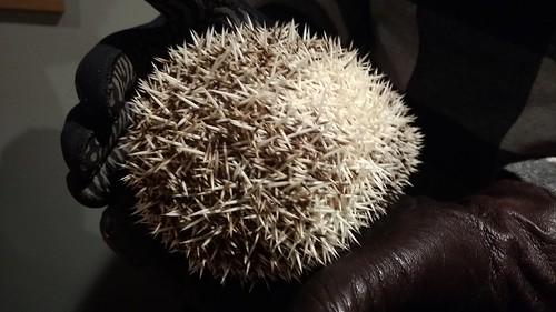 Amur hedgehog (Erinaceus amurensis) Siberian hedgehog