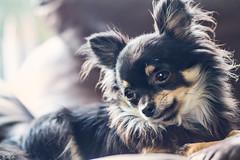 Kobbi (Dóra B.) Tags: dorabirgismyndphotocanonicelanddora birgis chiwawa teacup pet dog small tiny cute nice lovely hundur gæludýr black brown tired calm good best