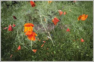 20170819. Eschscholzia californica. 2410