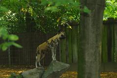 Wachtposten. (Mangiafazula07) Tags: tier zoo afrikanischer wildhund wilddog