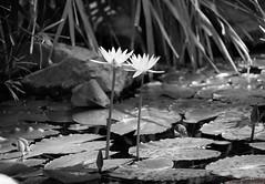 Upright lights (GrammateyLes) Tags: blackwhite flower wasserlilie waterlily