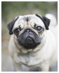 Gretel (theimagebusiness) Tags: theimagebusinesscouk theimagebusiness photography dogs pugs canine puglet animal animalphotography pet companion friend eyes eyecontact dog fun face dogface expression momentintime nikon d810 50mm outdoors outdoor portrait squishedface scotland uk westlothian