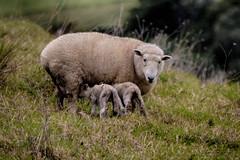 Down on the farm (Theresa Hall (teniche)) Tags: australia canberra lilo lollipop newzealand nikon nikond750 ruby stitch teniche theresahall animal animals baa babies cow cows farm farming northland sheep tutukaka