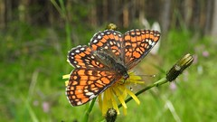 Scarce Fritillary (Euphydryas maturna) (eerokiuru) Tags: scarcefritillary euphydryasmaturna maivogel suurmosaiikliblikas butterfly