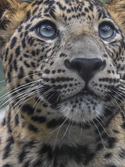 Young African Leopard (stephanieswayne1) Tags: spots endangered feline alert awake gaze stare zoo columbus cat big animal wild up looking eyes handsome male young cub leopard african africa