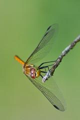 Five past Five (Donjovi2012) Tags: ayrshire dragonfly gailesmarsh irvine macro nature scotland shallowdof softfocus