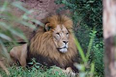 2017-08-30-0166 (BZD1) Tags: lion leeuw pantheraleo animal mammal natuur nature bigfive bigcat cat wildcatworld