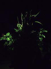 _MG_1895.CR2 (jalexartis) Tags: sansevieriatrifasciata motherinlaw'stongue citronella afterdark dark nightphotography night nightshots camranger lighting gardening cedarfarms