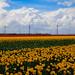 "Clouds moving over Tulip fields. ""NWN"" ********* Feliz Martes de Nubes********* (Moraima v/d F) Tags:"