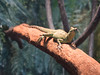 Green Plumed Basilisk Lizard (Travis Estell) Tags: campbellcounty greenplumedbasilisklizard jesuschristlizard kentucky newport newportaquarium northernkentucky aquarium doublecrestedbasilisk greenbasilisk lizard plumedbasilisk unitedstates us