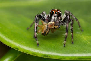 Salticidae / Jumping spider