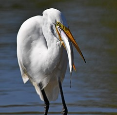 Egret Swallowing a Big Fish (KoolPix) Tags: greatwhiteegret egret bird fish bluefish snapper birdwithfish birdfeeding feeding eating mnsa marinenaturestudyarea koolpix jaykoolpix naturephotography nature wildlife wildlifephotos naturephotos naturephotographer animalphotographer wcswebsite nationalgeographic fantasticnature amazingnature wonderfulbirdphotos animal amazingwildlifephotos fantasticnaturephotos incrediblenature naturephotographywildlifephotography wildlifephotographer mothernature