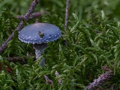 Grünspan-Träuschling  (Stropharia aeruginosa) in einem Wald in NRW (Oerliuschi) Tags: moos wald täuschling pilze mushroom natur schärfentiefe panasonicgh5 lumix olympusm60 strophariaaeruginosa