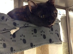 Antar - 9 month old spayed female