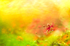 After the typhoon (Tomo M) Tags: flower cosmos bokeh blur dof survival orange color autumn nature