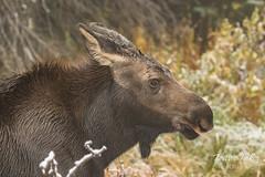 A precious Moose calf
