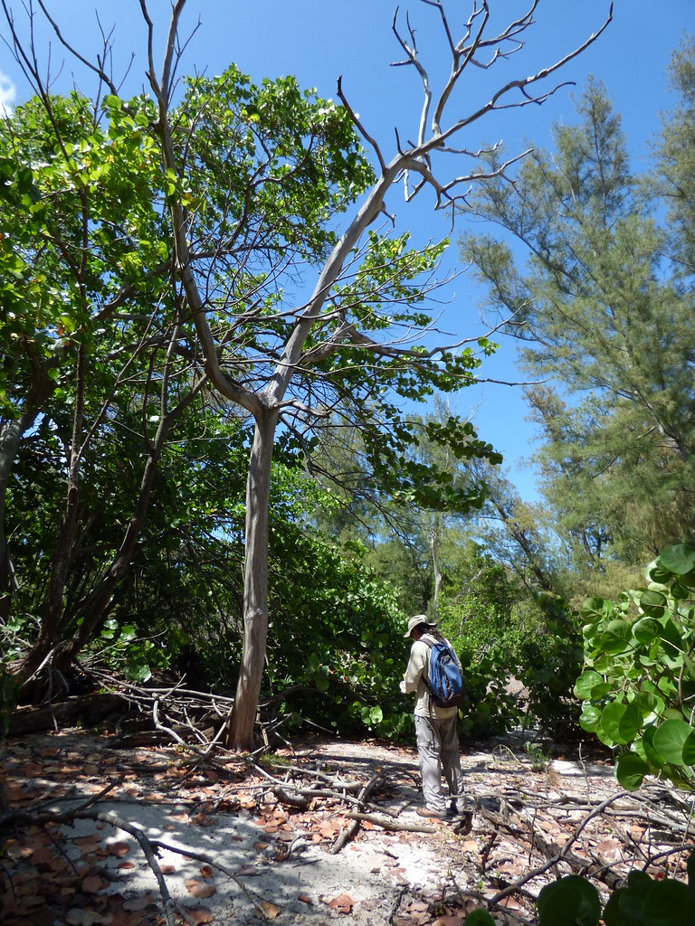 starr-170624-0913-Ficus_macrophylla-dead_tree_with_Kim-West_Beach_Sand_Island-Midway_Atoll